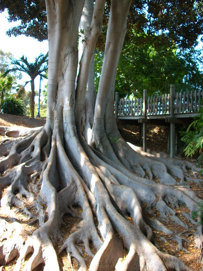 Ficus macrophylla - Moreton Bay Fig -Surface Roots (Ficus macrophylla (Australian Banyan))