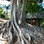 Ficus macrophylla - Moreton Bay Fig -Surface Roots (Ficus macrophylla (Australian Banyan))