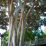 Ficus macrophylla - Moreton Bay Fig - Trunks (Ficus macrophylla - Moreton Bay Fig)