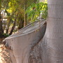Ficus macrophylla - Moreton Bay Fig - large branch cut (Ficus macrophylla)