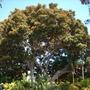 Ficus macrophylla - Moreton Bay Fig - Upper View (Ficus macrophylla)