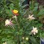 Aquiligea (aquiligea vulgaris)