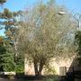 Ficus religiosa - Bo tree (Ficus religiosa (Bo Tree))