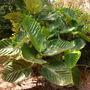 Ficus dammaropsis - Dinner Plate Fig (Ficus dammaropsis)