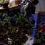 VARIEGATED HIBISCUS BY DUPONT NURSERIES (Brugmansia suaveolens (Maikoa))