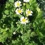 daisy like a weed
