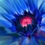 dahlia virginia  blue