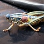 Lubber_grasshoppers.9.19.08_008
