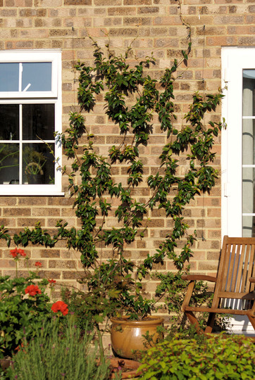 Star Jasmine (Trachelospermum jasminoides (Star jasmine))