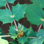 Mahonia (Mahonia bealei (Leatherleaf Mahonia))