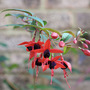 Climbing Fuchsia (Fuchsia)