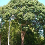 Bischofia javanica - Toog Tree (Bischofia javanica)