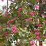 Bauhinia blakeana - Hong Kong Orchid Tree (Bauhinia blakeana)