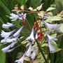 IMG_0427.jpg (Fuchsia Magellanica tricolor & Agapanthus campanulatus (African blue lily))