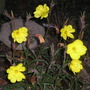 Evening primrose (Oenothera elata (Hookers Evening Primrose))
