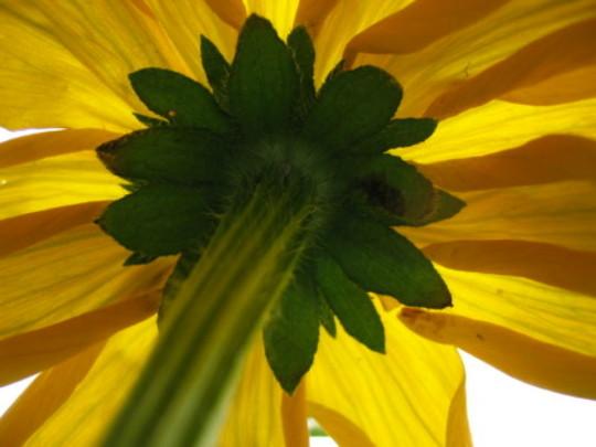 Prairie Sun (Rudbeckia alpicola)