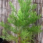 Dawn Redwood. Matasequioa glyptostroboides (Metasequoia glyptostroboides (Dawn redwood))