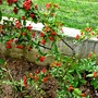 Pyracantha angustifolia