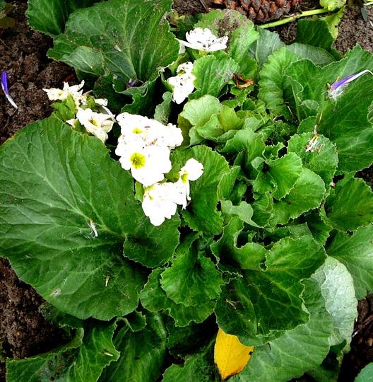 Primrose Obconica (Primula obconica (Poison Primrose))
