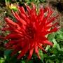 Red Cactus Dahlia. (Dahlia Pinnata (Dahlia))