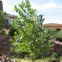 Rio Grande (also Fremont) Cottonwood tree