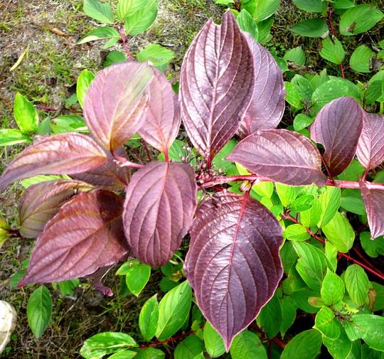 Dogwood leaves turning purple. (Cornus Sibirica)