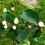 Snowberries (Symphoricarpos albus (Common Snowberry))