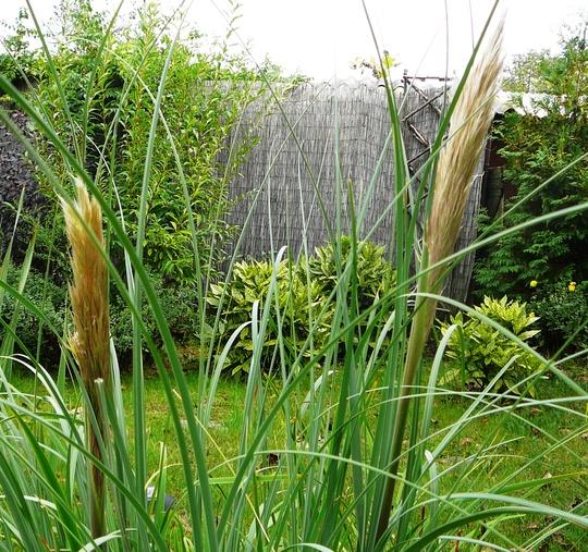 Pampas grass (Cortaderia selloana (read more here))