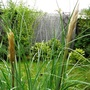 Pampas grass (Cortaderia selloana (read more here))