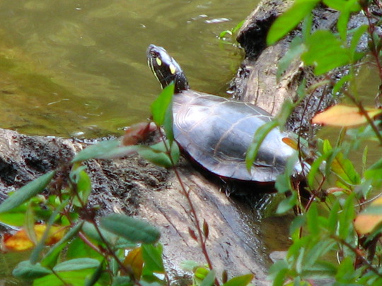 I got a photo of a painted turtle sunning on some logs, down at the lake yesterday