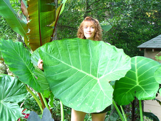 The only thing I was impressed with was the size of my elephant ears. I ordered this one from a mail-order nursery, I had no idea it would get this big the first year. It's called 'Thailand giant'