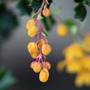 Berberis darwinii (Barberry)