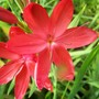 Schizostylis 'Eric's Early'