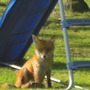A foxy visitor to the garden