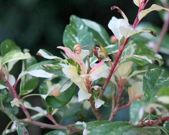 A garden flower photo (Photinia davidiana)
