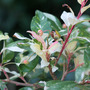 A garden flower photo (Photinia davidiana)