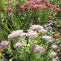 Sedum Light & Dark (Sedum spectabile (Ice plant))