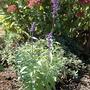 Salvia farinacea 'Victoria' (Salvia farinacea (Mealy sage))