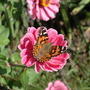 Zinnia Standard Tall Mix