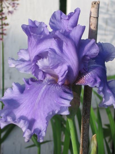 bearded iris (Iris germanica (Orris))