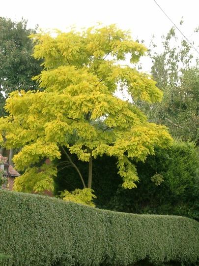 Stunning Robinia pseudoacacia 'Frisia' (Robinia pseudoacacia (False acacia) 'Frisia')