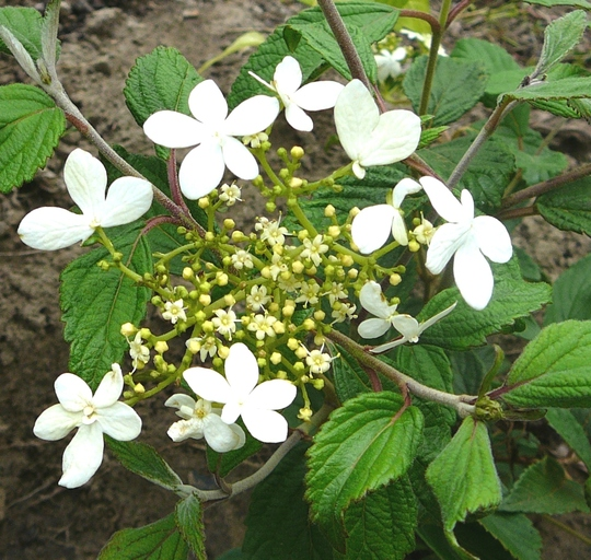 Viburnum plicatum watanabe (Viburnum plicatum watanabe)