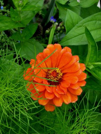 Zinnia...I love them...this bright orange especially (Zinnia)