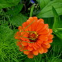 Zinnia...I love them...this bright orange especially (Zinnia)