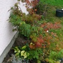Small Acer bed in September. (Acer palmatum (Japanese maple))