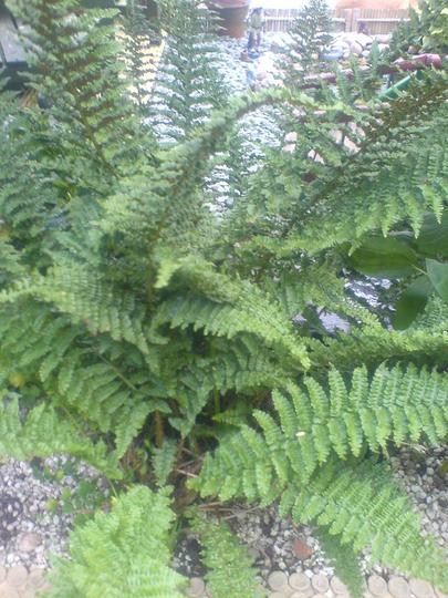 A garden flower photo (Athyrium filix-femina (Lady fern))