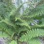 A garden flower photo (Athyrium filix-femina (Lady fern))