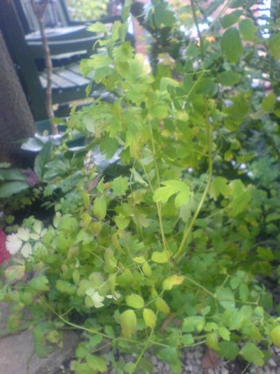 Maidenhair fern (Adiantum jordanii)