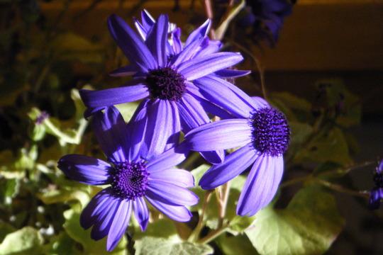 "Pericallis ""senetti blue (Pericallis senetti)"