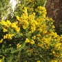 Sweet Broom not to be confused with Scotch broom (cytisus spachianus)